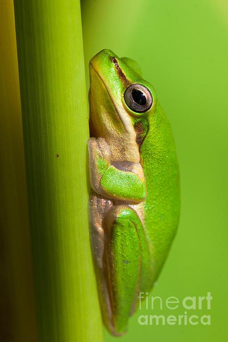 Johan Larson - Dwarf tree frog
