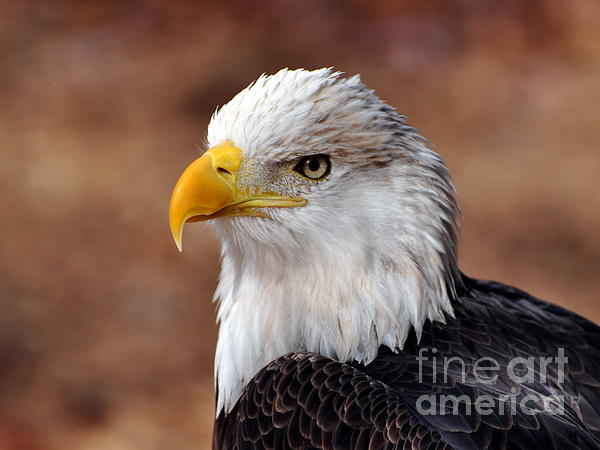 Eagle 25 Print by Marty Koch