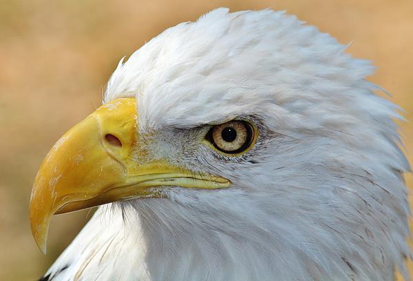 Eagle Eye 2 Print by Alexander Spahn