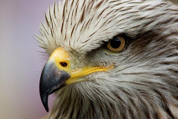 Eagle Print by Javier Balseiro