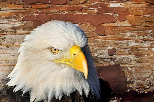 Eagle On Brick Print by Marty Koch