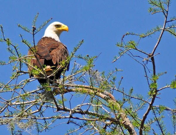 Eagle On Watch Print by Kathy Ricca