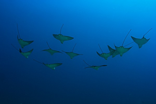 Eagle Rays In Ocean Print by Dave Fleetham - Printscapes