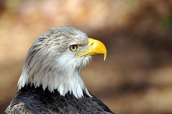 Eagle Right Print by Marty Koch
