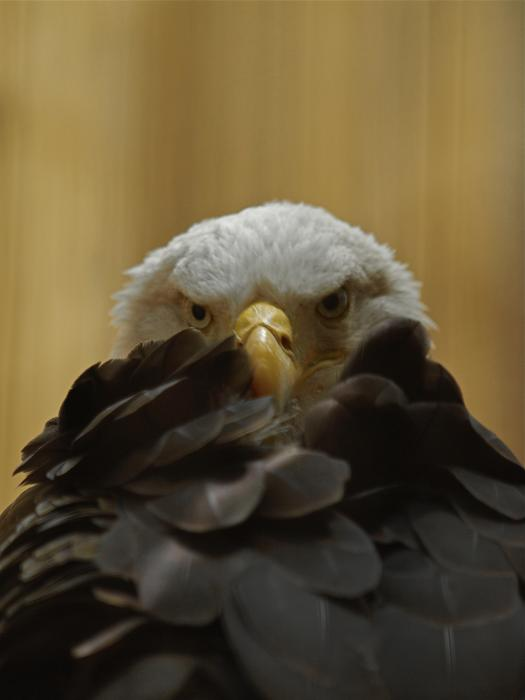 Eagle Thinking Print by Peter Gray
