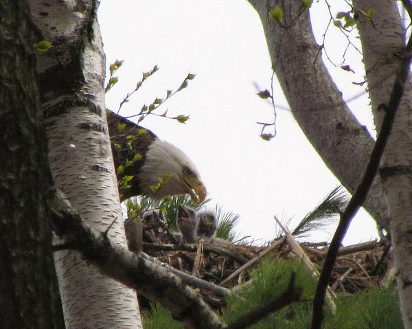 Mitch Spillane - Eaglets Feeding with mother Eagle