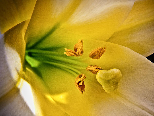 Easter Lily Print by Joe Carini