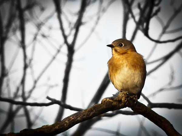 Jiayin Ma - Eastern Bluebird