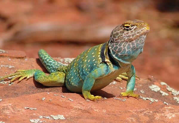Laura Brightwood - Eastern Collared Lizard