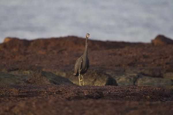 Eastern Reef Egret-dark Morph Print by Douglas Barnard