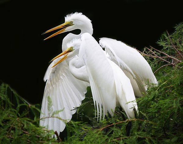 Egret Babies In The Nest Print by Paulette Thomas