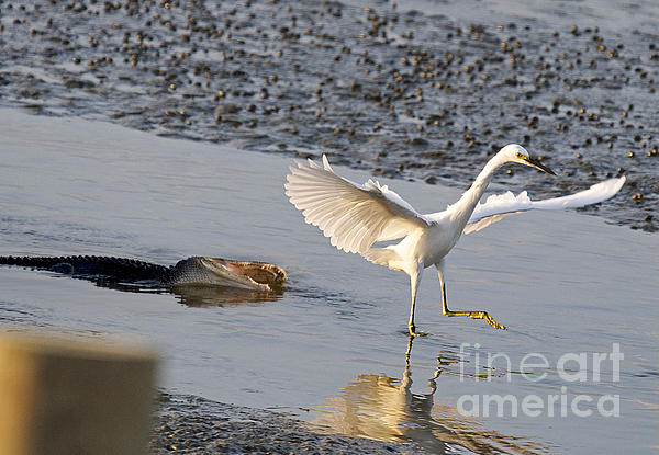 TJ Baccari - Egret being chased by Alligator