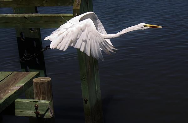 Paulette  Thomas - Egret coming off the Block