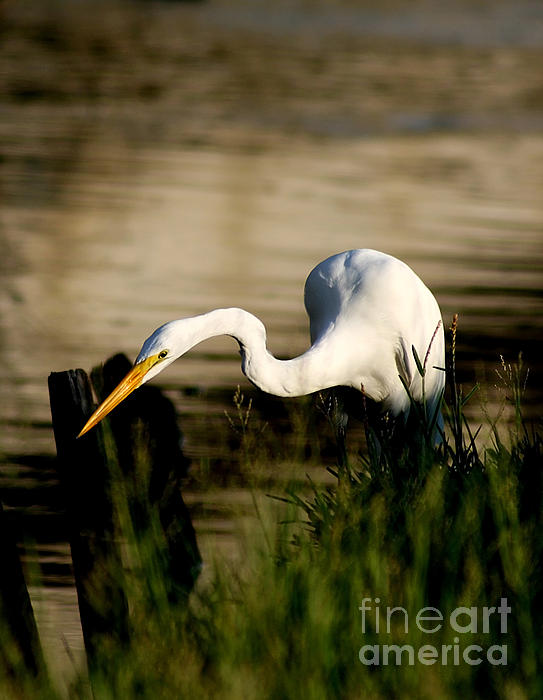 Joan McCool - Egret Fishing