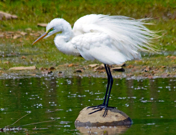 Egret In Mating Plumage Print by Kristine Quandee