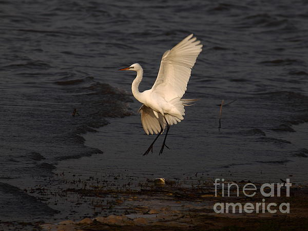 Robert Frederick - Egret In Mid-Air