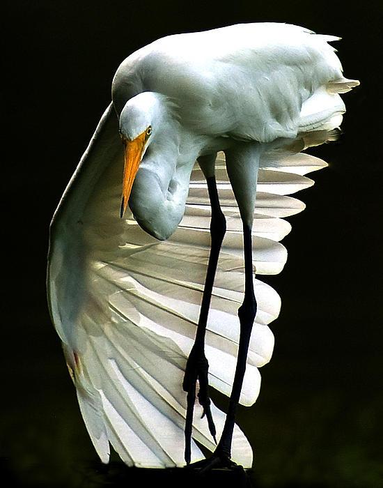 Ronald Broome - Egret