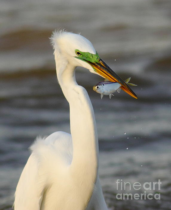 Robert Frederick - Egret With Big Shad