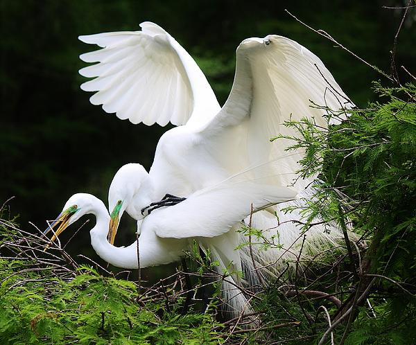 Egrets Mating Print by Paulette Thomas