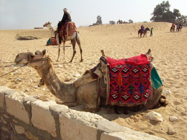 Egypt - Camel Getting Ready For The Ride Print by Munir Alawi