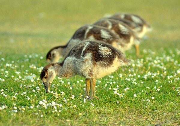 Egyptian Goslings Print by Pallab Seth
