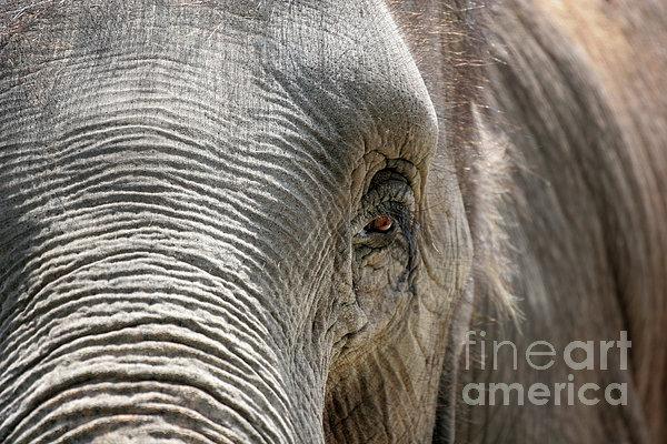Elephant Eye Print by Jeannie Burleson