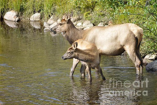 Nava Jo Thompson - Elk in Stream