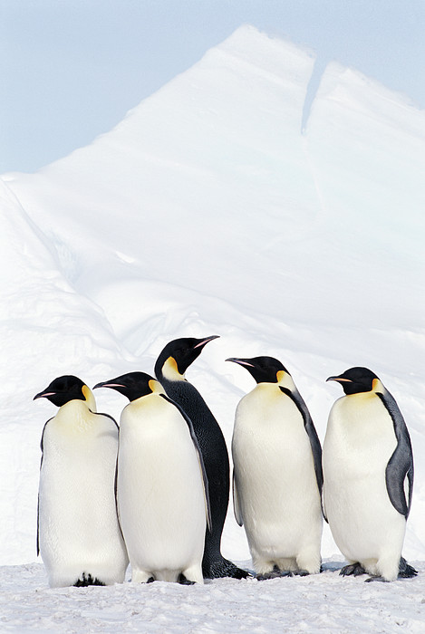 Joseph Van Os - Emperor Penguins And Icebergs, Weddell Sea