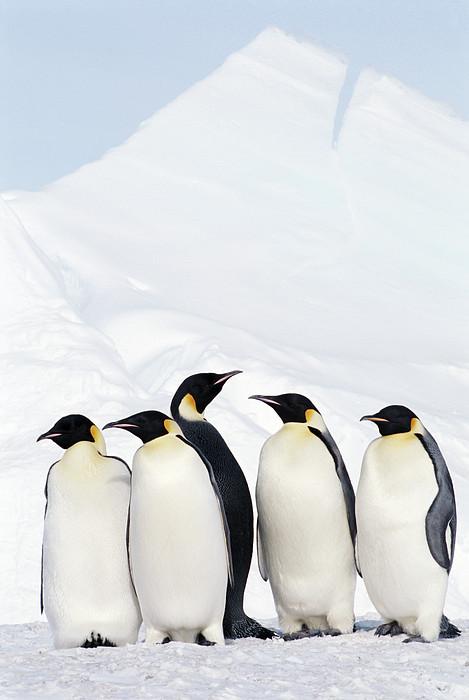 Joseph Van Os - Emperor Penguins And Icebergs, Weddell Sea