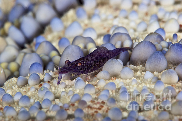 Emporer Shrimp On A Large Pin Cushion Print by Terry Moore