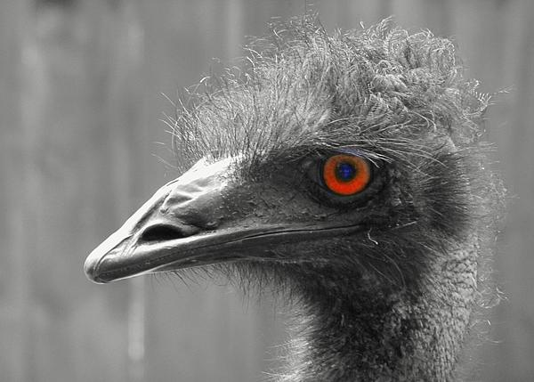 Lori Pessin Lafargue - Emu Eye