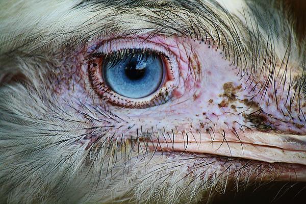 Emu Eye Print by Paulette Thomas
