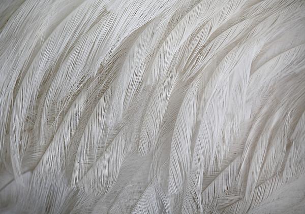 Emu Feathers Print by Paulette Thomas