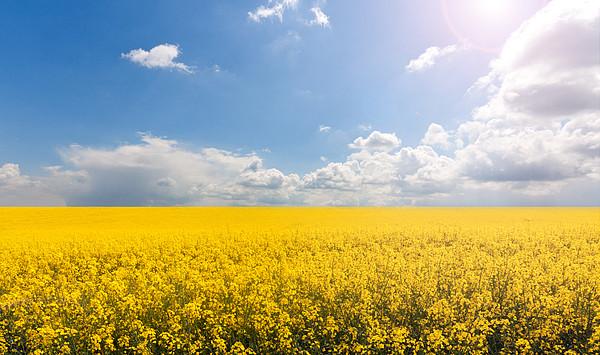 Endless Yellow Canola Field Print by © Bjorn van der Meijs