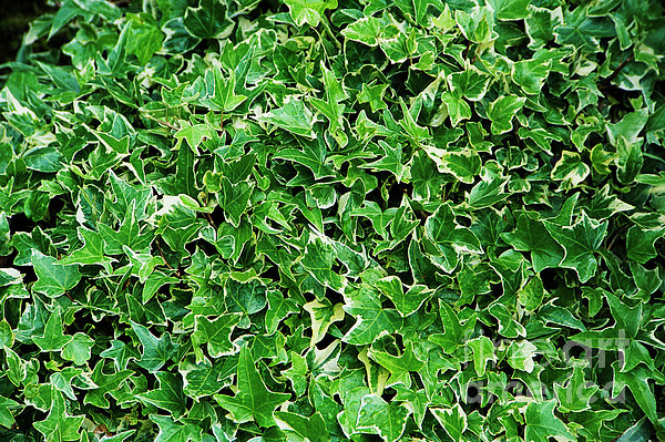 English Ivy (hedera Helix 'kolibri') Print by Archie Young