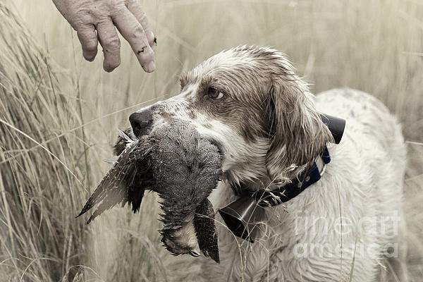Daniel Dempster - English Setter and Hungarian Partridge - D003092a