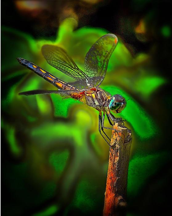 Enhanced Dragonfly Print by Dave Sandt