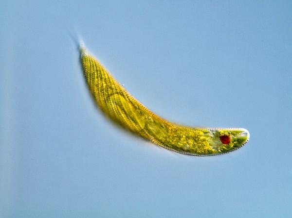 Euglena Protozoan, Light Micrograph Print by Gerd Guenther