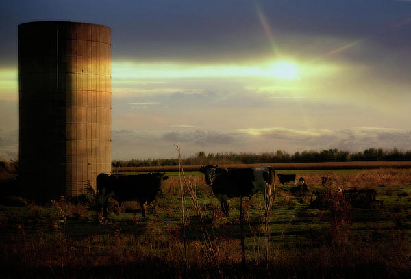 Evening Cows Photograph