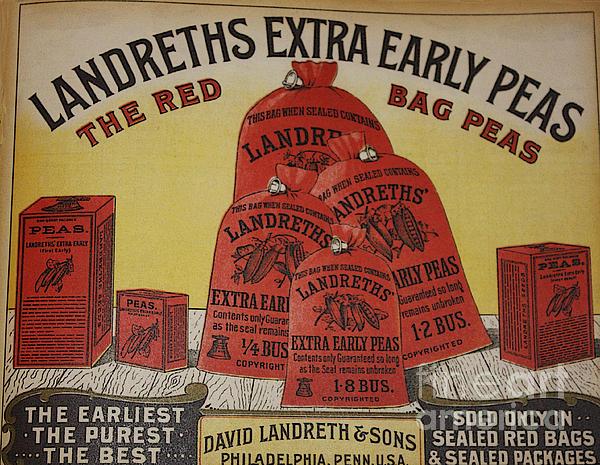 David Bearden - Extra Early Peas