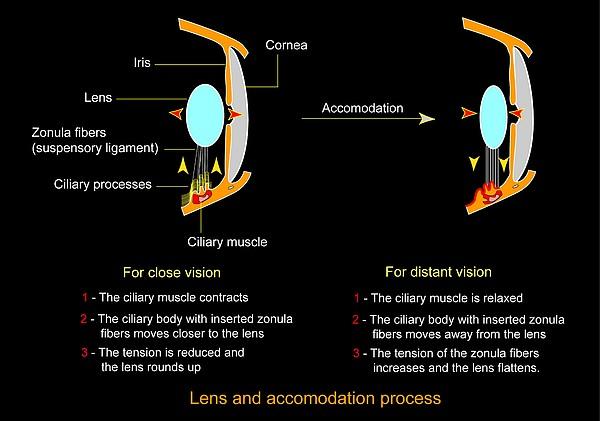 Eye Lens And Accommodation, Diagram Print by Francis Leroy, Biocosmos