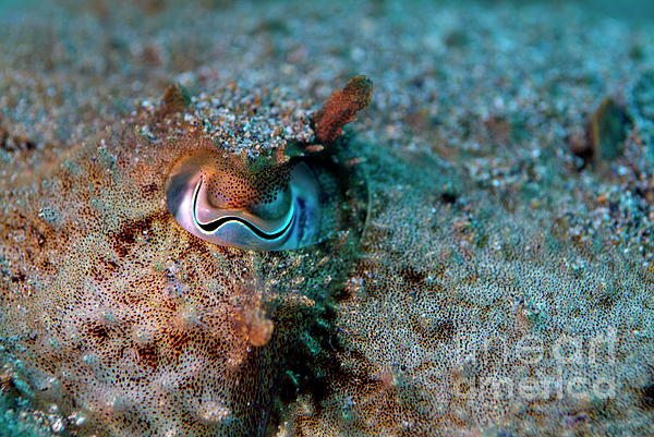 Eye Of A Common Cuttlefish Print by Sami Sarkis
