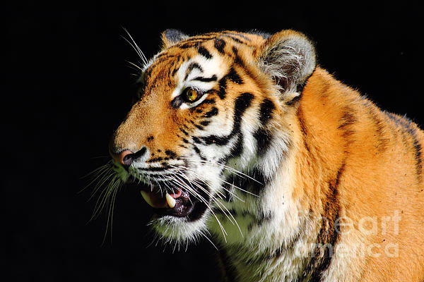 Eye Of The Tiger Print by Holger Ostwald