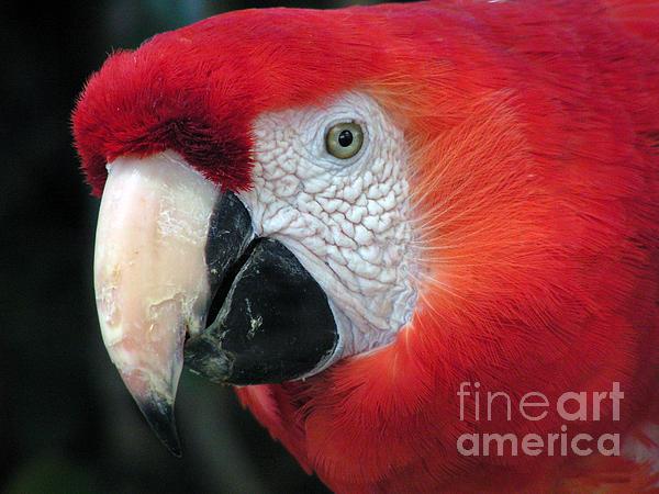 Alexandra Jordankova - Face of Scarlet Macaw