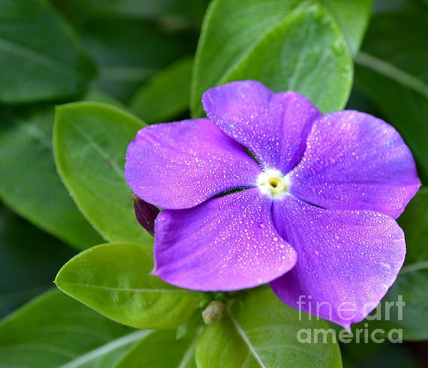 Eva Thomas - Fairy Glitter Phlox Flower
