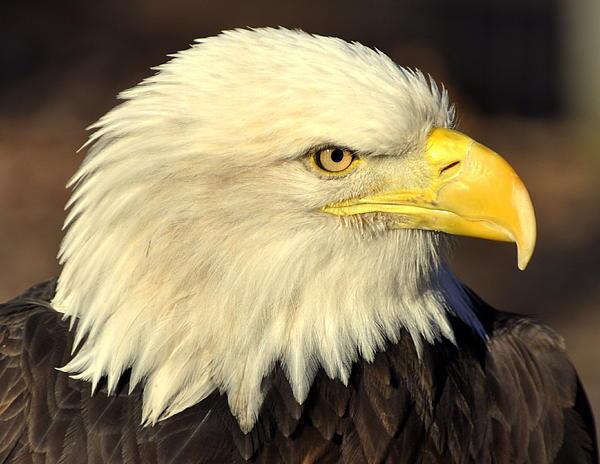 Fall Eagle 1 Print by Marty Koch