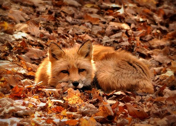 Angela Gervase - Fall fox