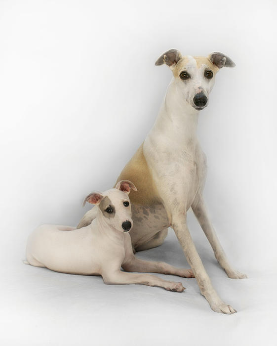 Father And Son Whippets Print by John Clum