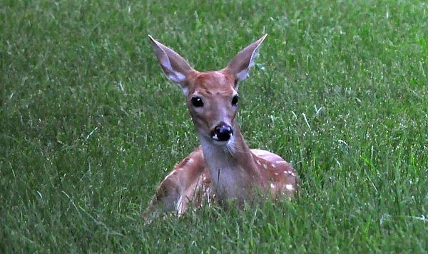 D Keller - Fawn in Grass