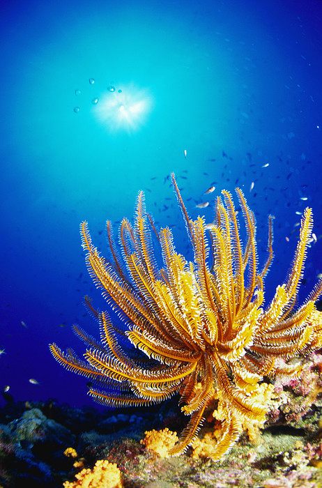 Feather Star Print by Ken Usami